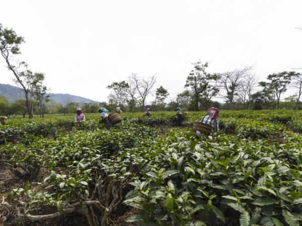 India: Assam Tea Plantations | Accountability Counsel